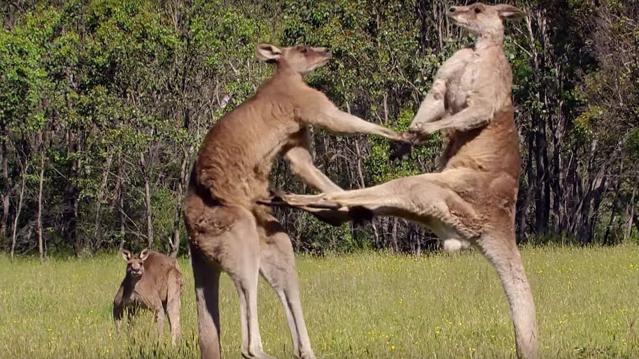 Start your day with awesome facts on Kangaroo – mysterioussciencefacts